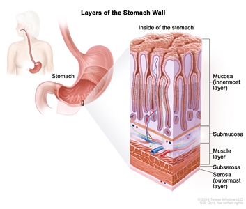 Layers of the stomach wall; drawing of the stomach with an inset showing the layers of the stomach wall, including the mucosa (innermost layer), submucosa, muscle layer, subserosa, and serosa (outermost layer).